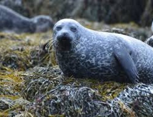 A new Grey Seal is curious